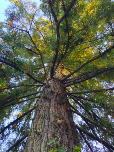 Looking up the redwood